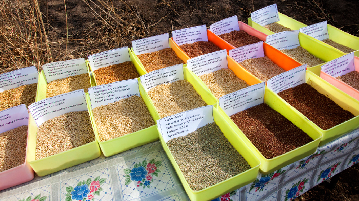 Sorghum is Widely Used as Both Food and Grain